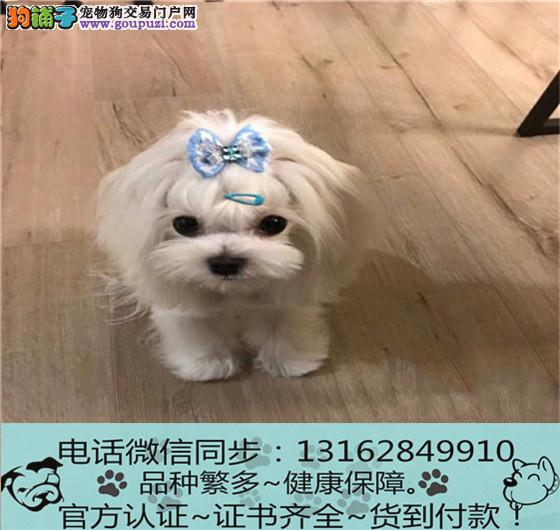 cku认证犬舍出售极品马尔济斯签协议保健康