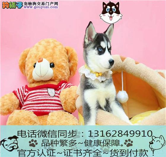 cku认证犬舍出售极品哈士奇犬签协议保健康
