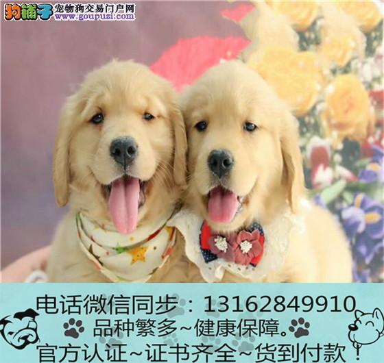 专业繁殖纯种金毛犬 三年质保 签订协议