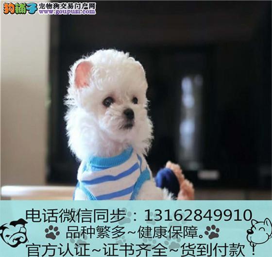 纯血统泰迪 幼犬 专业繁殖包质量 购犬可签协议