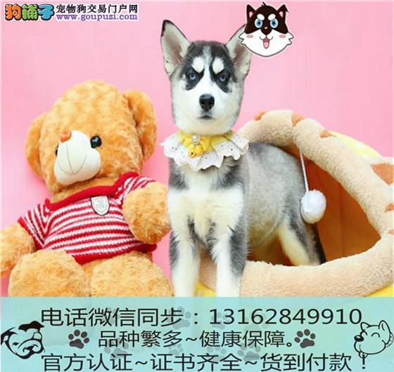 出售纯种哈士奇犬 包养活包健康签订协议