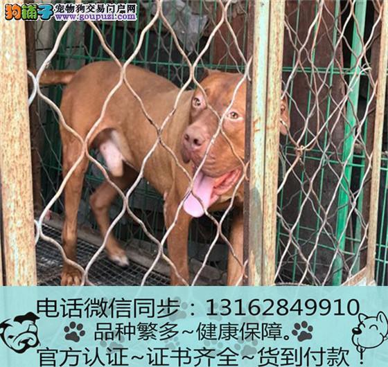 出售纯种比格犬 包养活包健康签订协议1