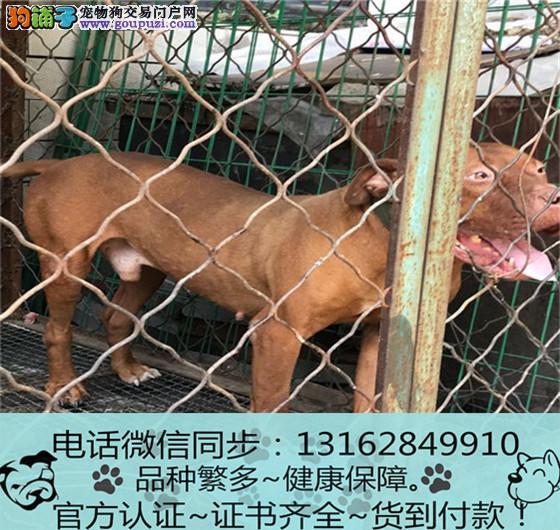 出售纯种比格犬 包养活包健康签订协议3