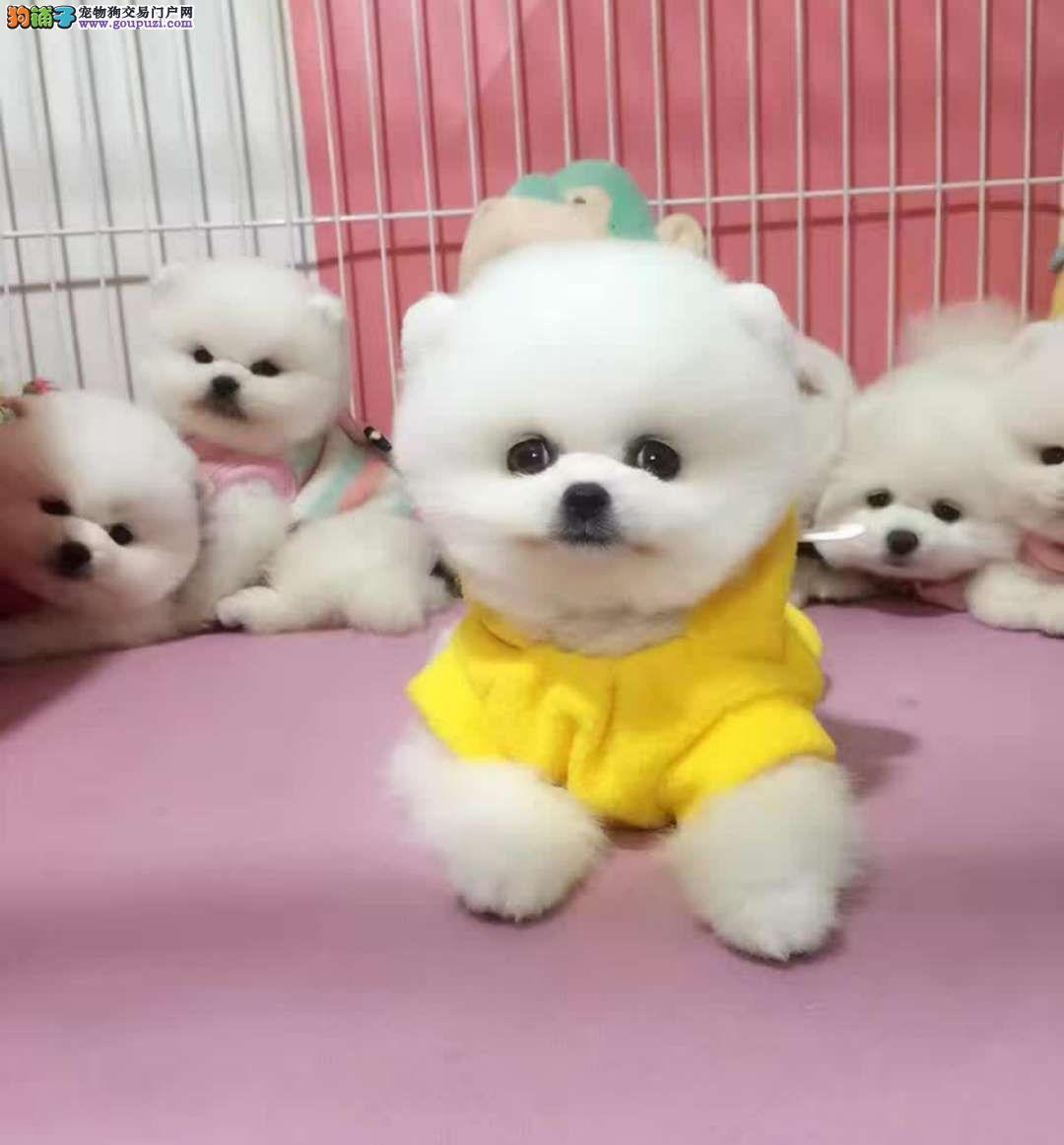 超高品质哈多利版博美犬犬舍热销3