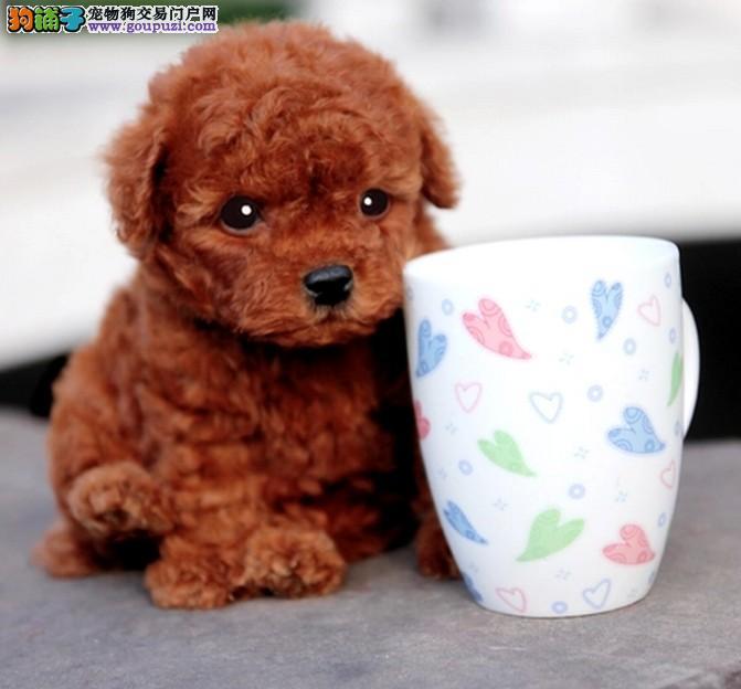 东莞最大狗场场一出售泰迪幼犬一包养活一签协议送用品