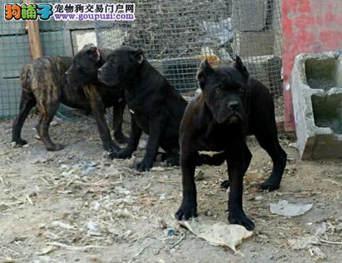 常年出售纯种马犬,杜高,卡斯罗,德国牧羊犬等