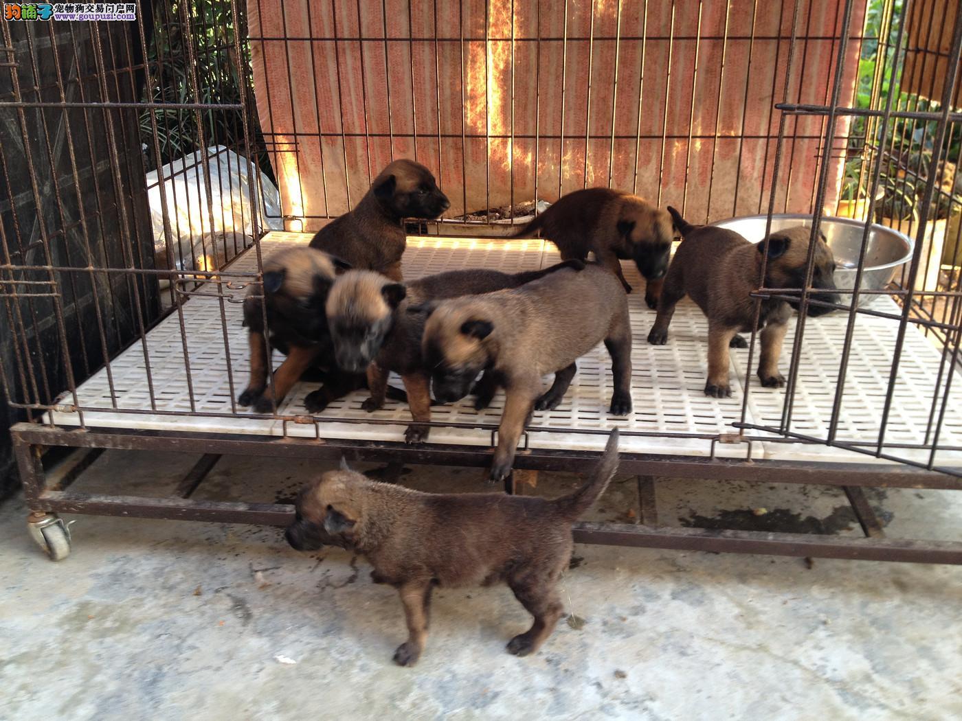 常年有纯种马犬,杜高,卡斯罗,德国牧羊犬出售