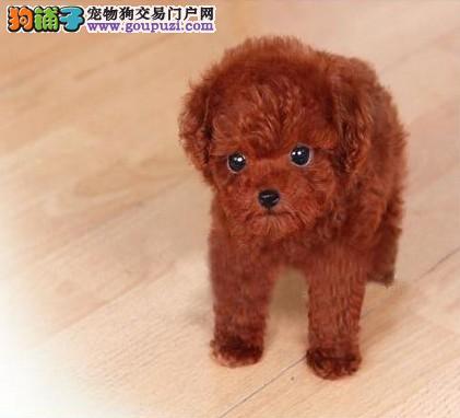 江门哪里有卖泰迪熊犬呢4