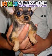 江门哪里有卖吉娃娃犬什么价钱能买到4