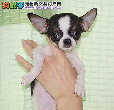 江门哪里有卖吉娃娃犬什么价钱能买到3