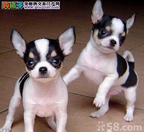 江门哪里有卖吉娃娃犬什么价钱能买到1