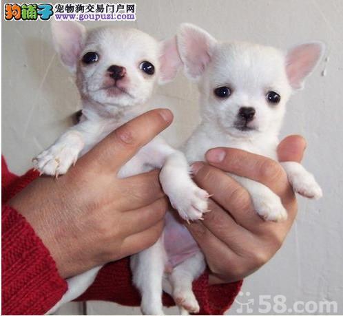 江门哪里有卖吉娃娃犬什么价钱能买到2