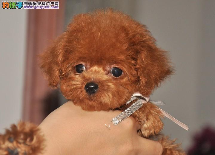 江门哪里有卖泰迪熊犬呢2