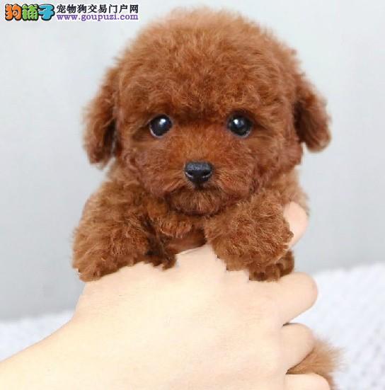 江门哪里有卖泰迪熊犬呢3