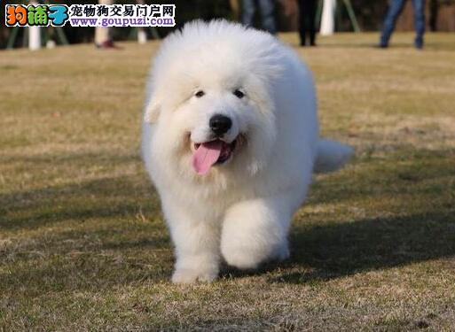专业培育纯种精品大白熊幼犬/CKU认证品质绝对保证