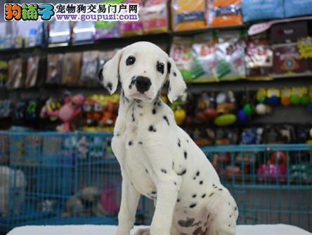 纯种斑点幼犬出售公母都有/CKU认证品质绝对保证