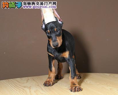 专业培育纯种精品杜宾幼犬/CKU认证品质绝对保证1