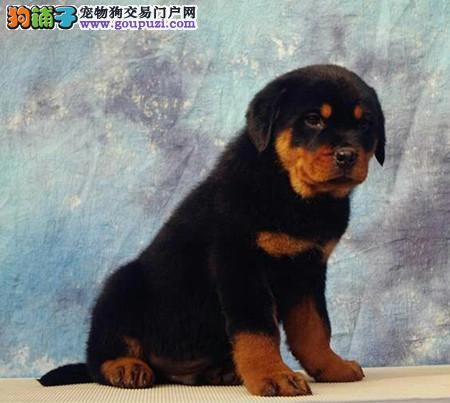 专业培育纯种精品罗威纳幼犬/CKU认证品质绝对保证