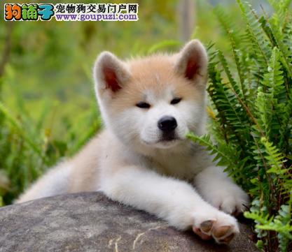 纯种日系秋田犬 专注于中高端宠物专业繁殖基地