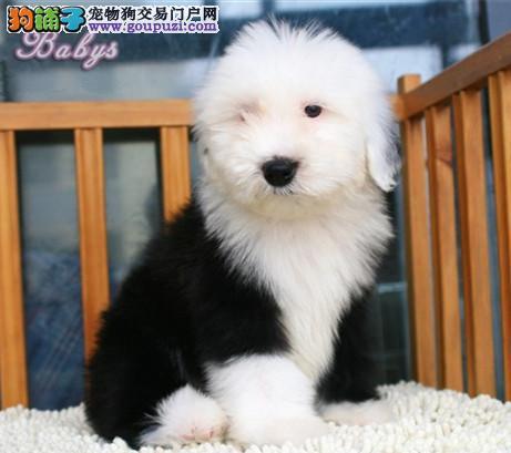 专注于培育中高端宠物基地 纯种古牧幼犬待售