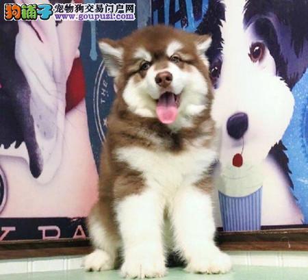 专注于培育中高端宠物基地 纯种阿拉斯加幼犬待售