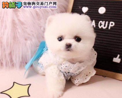 专注于培育中高端宠物基地 纯种博美俊介幼犬待售