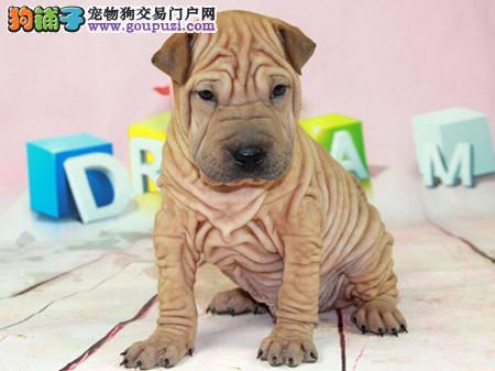 专注于培育中高端宠物基地 纯种沙皮幼犬待售