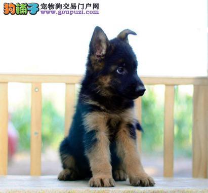 专注于培育中高端宠物基地 纯种德国牧羊犬待售1