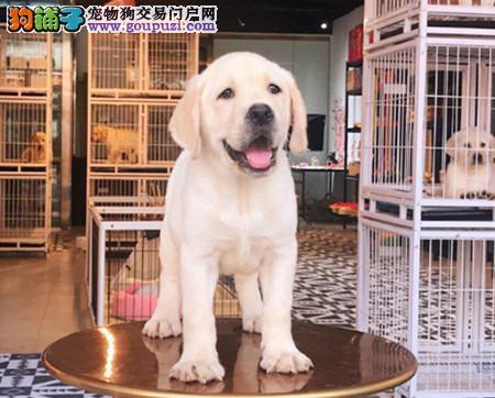 专注于培育中高端宠物基地 纯种拉布拉多幼犬待售