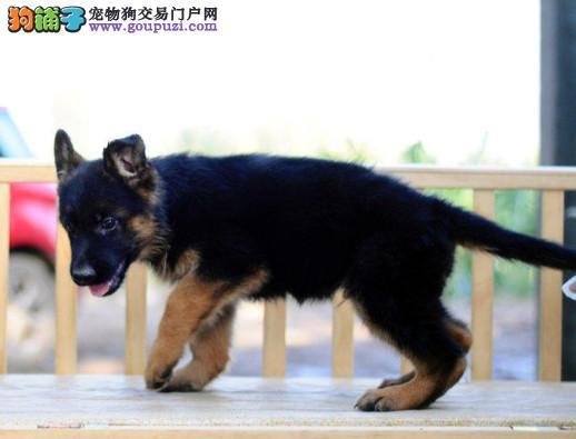 专注于培育中高端宠物基地 纯种德国牧羊犬待售3