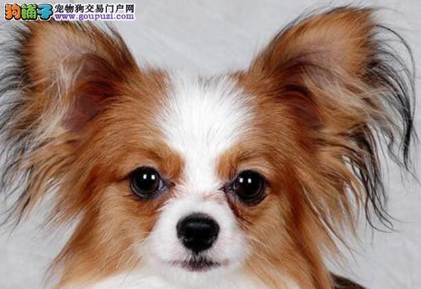 学会这几点,你也可以拥有美丽的蝴蝶犬