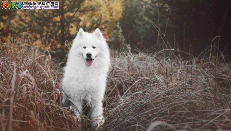 挑选一只纯种的萨摩耶犬的方法大盘点