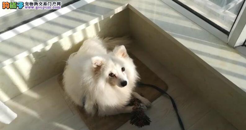 新手如何做才能挑选一只纯种银狐犬呢