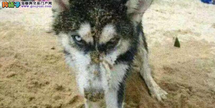 二哈被主人埋在沙子,同伴补刀在头上撒尿
