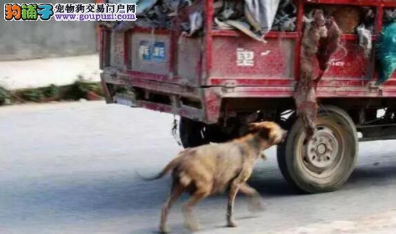 流浪狗为了救自己的孩子跟着三轮车一直跑