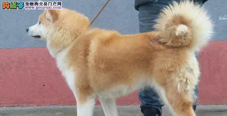 秋田犬被主人穿小鞋,露出诡异微笑,表示早已看穿一切