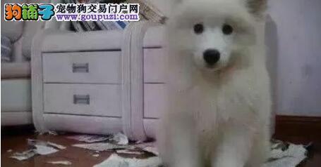 萨摩耶捡回一只小奶狗,全家人被它的举动都暖到了