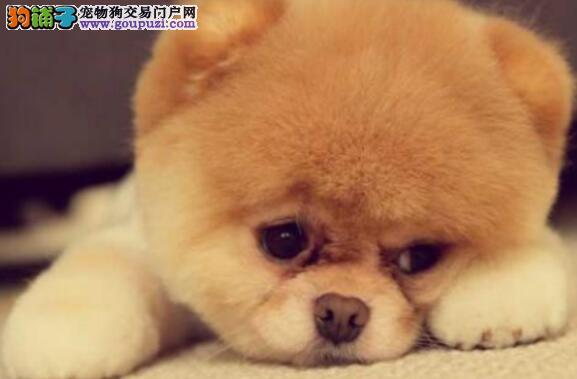 治疗博美犬皮肤病的妙方具体都有哪些呢