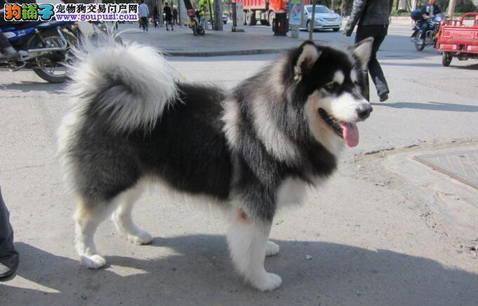 给阿拉斯加雪橇犬做美容,第一条你就错了