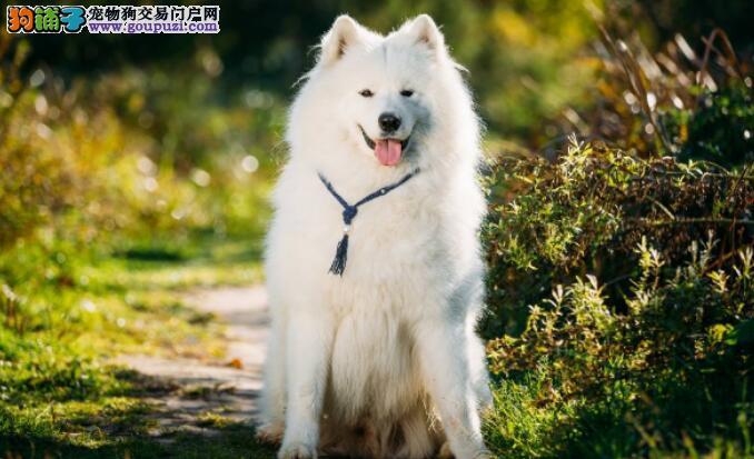 萨摩耶狗狗最容易患上的几种疾病是什么
