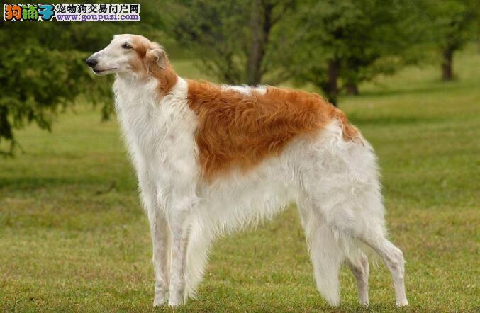 苏俄猎狼犬的遗传病,我们能做的只有做好预防