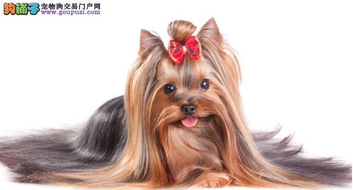 华美的约克夏狗狗老是在流泪,是怎么回事呢
