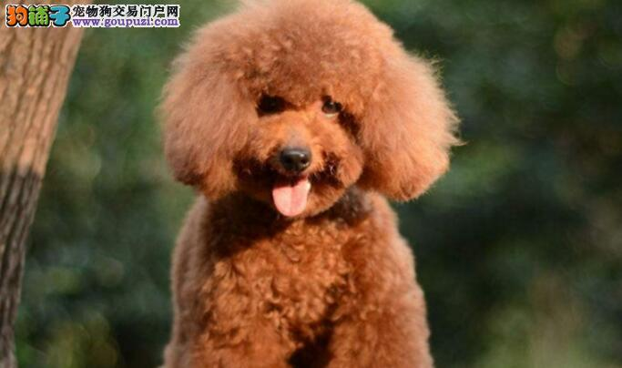 泰迪狗狗为啥老是拉稀呢?什么原因呢