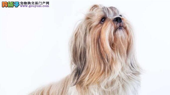 怎样判断西施犬是否缺钙,西施犬缺钙会有啥表现