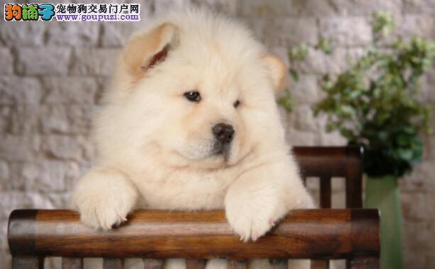 照顾松狮狗狗可不是个人人都能做的轻松活