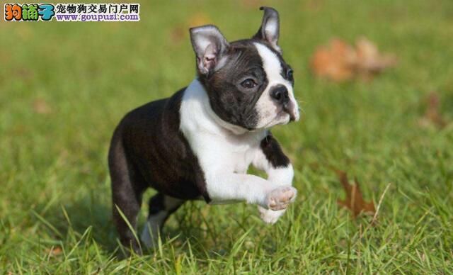 刚刚领养的波士顿狗狗,喂养时候有什么禁忌问题