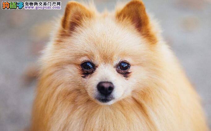 博美小狗狗发生皮肤病的快速治愈方法是什么