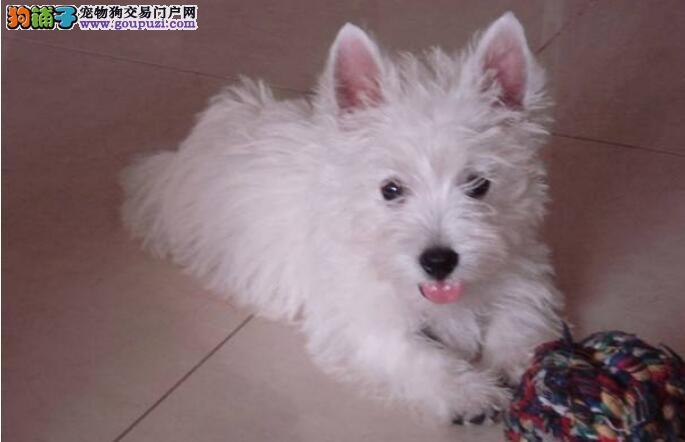 西高地白梗犬怎么检查出得了病吗