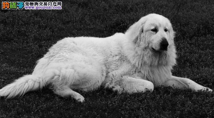 导致大白熊犬发生拉稀可能是细小病毒在作怪
