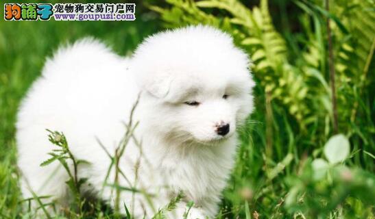 萨摩耶狗狗发烧并非感冒,更或是犬瘟热表现